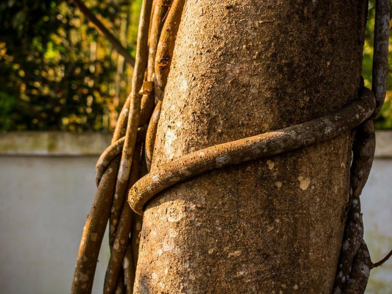 Baum von Liane Umschlungen